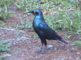 030118 ooo Greater blue-eared starling Kruger NP.jpg