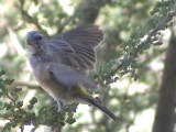 030123 gg White-throated canary Augrabies fall.jpg