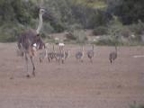 030130 c Common Ostrich De Hoop NR.jpg
