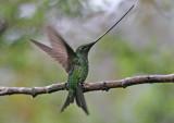 Sword-billed hummingbird, Ecuador