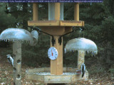 Woodpeckers on icy feeders