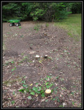 Grapevine stumps 2009