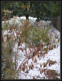 Milkweed in the snow 2009