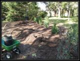 Planting northern white cedar