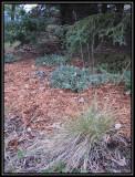 Spreading juniper and prairie dropseed