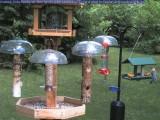 Woodpecker eating orange