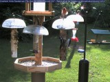 Woodpeckers and cardinal