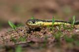 Garter Snake 1030