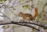 Red Squirrel 1082