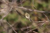 Yellow-bellied Flycatcher 1102