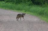 Gray Wolf 3212