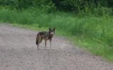 Gray Wolf 3213