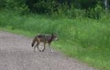 Gray Wolf 3220