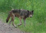 Gray Wolf - June 2008