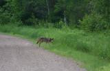 Gray Wolf 3223