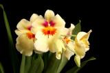 Miltoniopsis Andrea West '#1'
