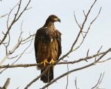 Bald Eagle-Juv.
