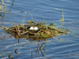 Horned Grebe's Nest