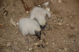 T.Vulture Chicks