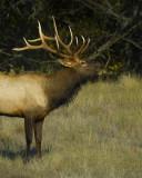 Bull Elk Bugling #2