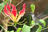 hummingbird feeding on flame lily
