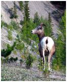 Wildlife and the Icefields Parkway