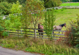 Fenced Horses