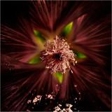 Alcea rosea (Hollyhock)