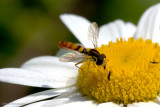 Bug on a daisy