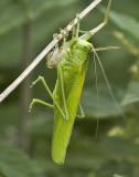 DSC_5365 Stor græshoppe