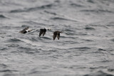 Alfågel - Long-tailed Duck