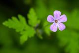 Stinknäva (Geranium robertianum )