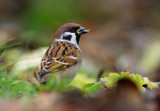 European Tree Sparrow - Pilfink