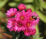 Bee on a Dahlia.jpg