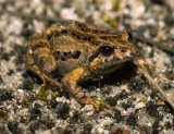 Toadlet?  Common Froglet