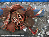 orgy of crabs