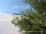 imerovigli olive tree