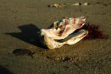 Huître de la plage du Puma