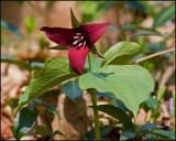 0895 Red Trillium.jpg