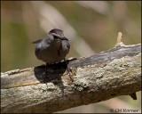 1250 Gray Catbird.jpg