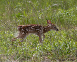 1414 White-tailed Deer fawn.jpg
