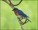 1064 Eastern Bluebird male.jpg