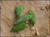 0012 Dusky-billed Parrotlets