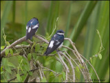 9813 White-winged Swallows
