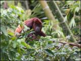 9995 Red Howler Monkey
