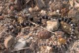 Juvenile Bandy-Bandy Vermicella annulata R0014227