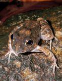 Limnodynastes ornatus IMGP0351