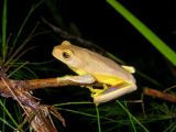 Litoria gracilenta