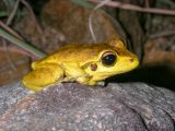 Stony Creek frog, Litoria lesueuri IMGP0536