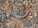 Things you find under rocks--a centipede (IMGP0557)